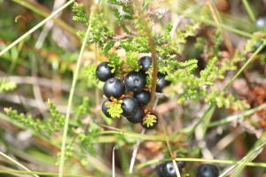 Crowberries national preparedness month