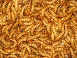 Meal Worms eating bugs