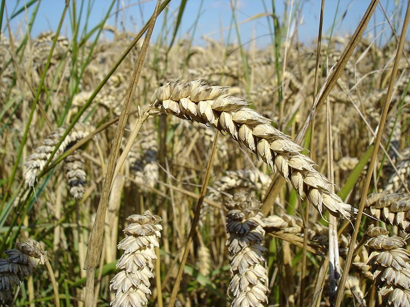 Wheat Nutrient Dense